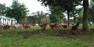 poules_pondeuses1